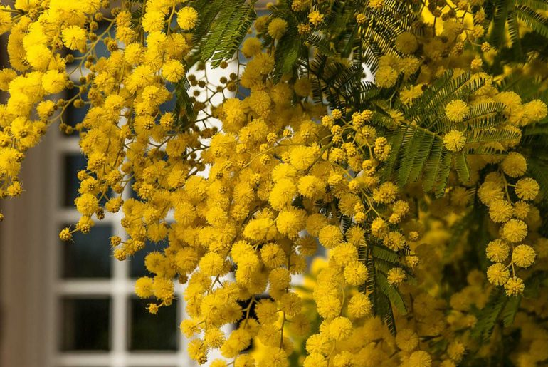 Mimoza Ağacı Çiçeği Hakkında Her Şey