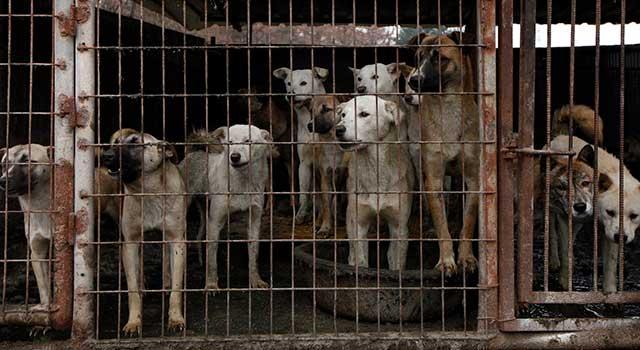 Güney Kore Köpek Eti